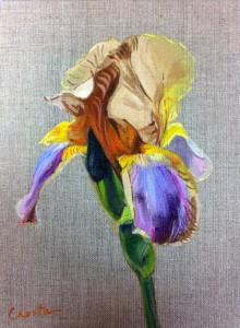 iris brun et violet et jaune