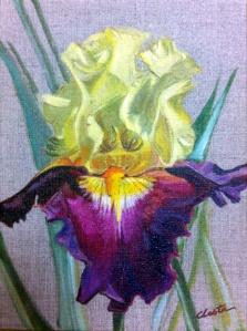 iris jaune et rouge violet 18 x 24